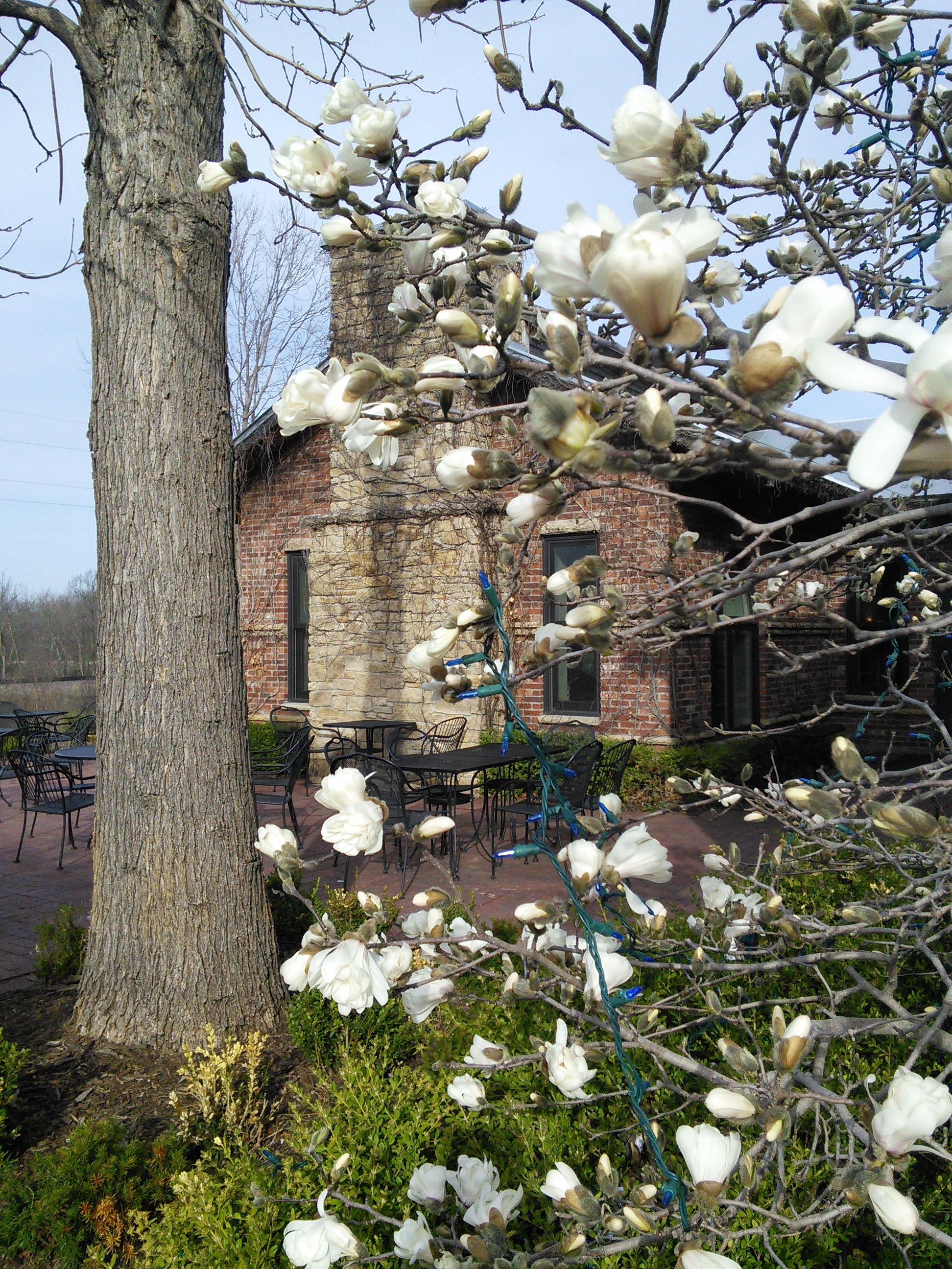 4-15-15 spring time magnolia
